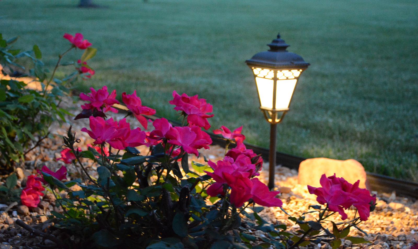Evening Roses 6.10.15